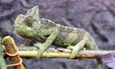 1-537_F_15 Chameleon-Jemen (3)